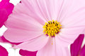 Cosmos in pink close up selective focus Stock Photography