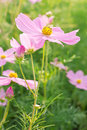 Cosmos pink flower family compositae in garden Stock Photo