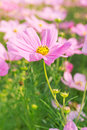 Cosmos pink flower family compositae in garden Stock Photography