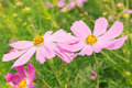 Cosmos pink flower family compositae in garden Royalty Free Stock Photography