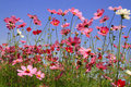 Cosmos pink flower in garden with blue sky Stock Photo