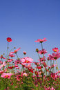 Cosmos pink flower in garden with blue sky Royalty Free Stock Image