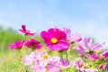 Cosmos pink flowers Royalty Free Stock Photo