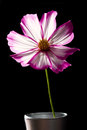 Cosmos pink and white flowe flower in studio closeup black background Royalty Free Stock Photography