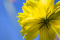 Cosmos and sky blooming yellow against blue Royalty Free Stock Photography