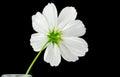 Cosmos Sonata Flower, Back Side