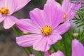 Cosmos Sonata Flowerfield pink flower field Royalty Free Stock Photo
