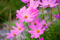 Cosmos Sonata Flowerfield pink flower field Royalty Free Stock Photo