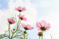Cosmos sulphureus pink with translucent at petal and cloudy blue sky Stock Photo