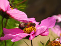 Cosmos wasp colourful picture of a standing in the pollen of a flower Stock Photo