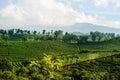 Costa Rica Coffee Plantation Royalty Free Stock Photography
