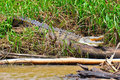 Costa Rica Crocodile resting Royalty Free Stock Image