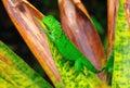 Costa Rica Green Iguana Royalty Free Stock Photo