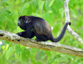Costa rica howler monkey,black chimpanzee gorilla Stock Photos