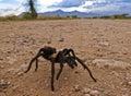 A costa rican also known as desert tarantula on dirt road in monsoon season Stock Photo
