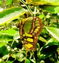 Costa rican butterfly in jungle Royalty Free Stock Photo
