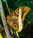 Costa rican butterfly in jungle Royalty Free Stock Images