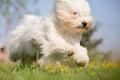 Coton de Tulear dog Royalty Free Stock Photo