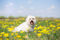 Coton de Tulear dog portrait on sunny summer day Royalty Free Stock Photo