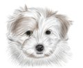 Coton de tulear hand drawing portrait puppy colored Royalty Free Stock Photo