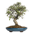 Cotoneaster bonsai tree isolated on white Royalty Free Stock Images