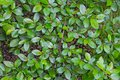 A cotoneaster branch with green young fresh leaves and buds Royalty Free Stock Photo