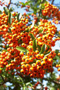 Cotoneaster horizontalis Royalty Free Stock Photos
