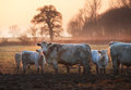 Cotswold cattle winters morning in the village of weston subedge chipping campden gloucestershire england Stock Images