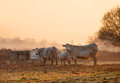 Cotswold cattle on a winters morning weston subedge near chipping campden gloucestershire england Stock Image