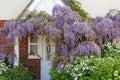 Cottage Garden Wisteria