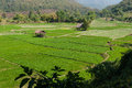 Cottage and green terraced rice field Royalty Free Stock Photo