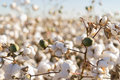 Cotton ball full bloom - agriculture farm crop image Royalty Free Stock Photo