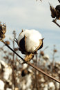 Cotton boll an opened in a rural southern field Stock Image