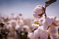 Cotton bud crop close up photo of ready for harvest Stock Photography