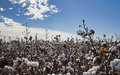 Cotton crop Royalty Free Stock Image
