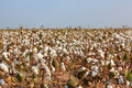 Cotton Field Royalty Free Stock Images