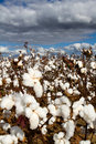 Cotton Field Stock Images