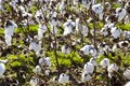 Cotton in a field the deep tennessee south large with immature bolls growing for harvesting Royalty Free Stock Photo