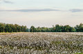 Cotton Field. Royalty Free Stock Photo