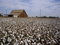 Cotton Fields Back Home Stock Images