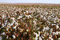 Cotton fields landscape of in south israel Royalty Free Stock Image