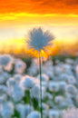 Cotton grass on a background of the sunset sky Stock Image