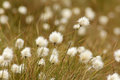 Cotton grass in bloom at bowness common Stock Photo