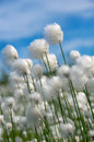 Cotton grass flowering on a background of blue sky Stock Photo