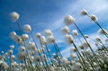 Cotton grass flowering on a background of blue sky Royalty Free Stock Images
