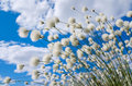 Cotton grass flowering on a background of blue sky Royalty Free Stock Photo