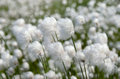 Cotton grass flowering in a strong wind Royalty Free Stock Photography