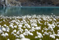 Cotton grass on the shore of a mountain lake Stock Image
