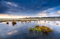 Cotton grass on swamp after storm drenthe netherlands Royalty Free Stock Image