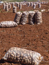 Cotton harvest potato bag in field brazil Royalty Free Stock Images